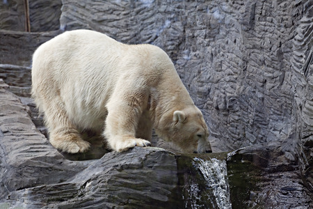 A polar bear drinking water in the zoo  photo