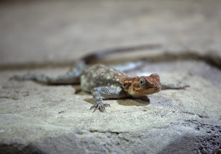 mimetism: Lizard sitting on a rock, shallow DOF
