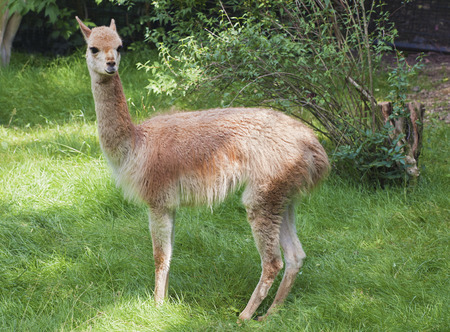 Young guanaco in profile in a zoo photo
