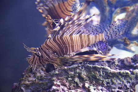 dragonfish: Close-up of an exotic fish swimming in the aquarium
