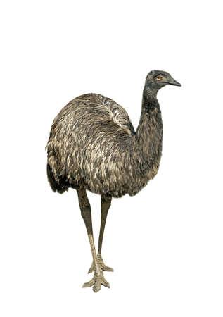 dromaius novaehollandiae: Avestruz em� aislado sobre fondo blanco Foto de archivo