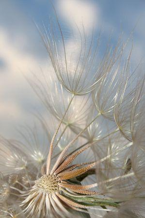chorowity: Aby DANDELION pomaga nosić wiatr jego nasion na większe odległości
