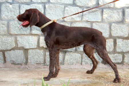 drathaar: One of the best breeds of hunting dogs