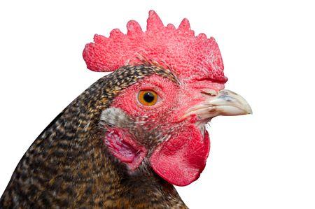 fertility emblem: Close-up view of a chickens head