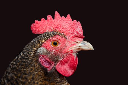 Close up view of a chicken head photo