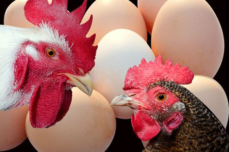 Chickens and eggs photo