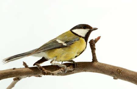 titmouse: Small titmouse bird very useful to a garden