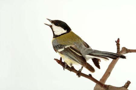 Small titmouse bird very useful to a garden Stock Photo - 2772183