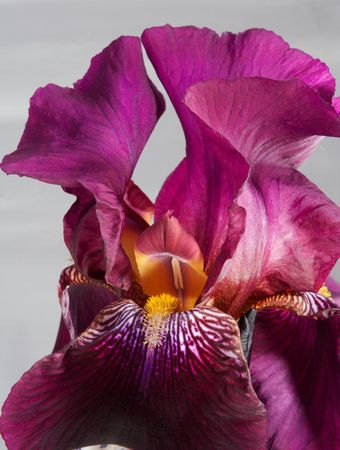Details of a beautiful iris on a background of a foil photo