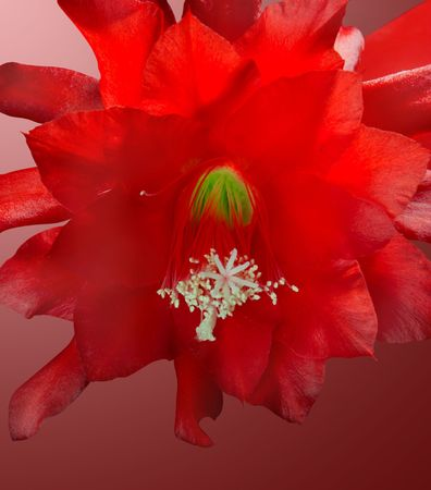 occurrence: Cactuses blossom very seldom, but occurrence of colors causes a lot of pleasure