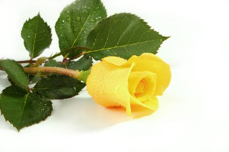 Yellow rose on a white sheet of a paper photo
