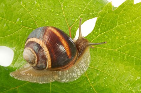 grape snail: Grape snail on a sheet of a grapes in drops of a rain Stock Photo