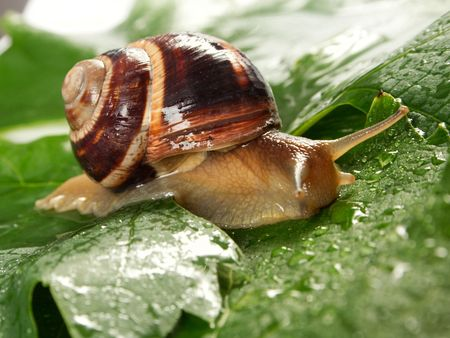 mucus: Grape snail on a sheet of a grapes in drops of a rain Stock Photo