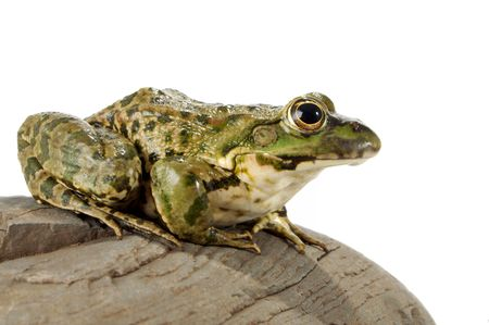 The marsh frog closely looking at the photographer. photo