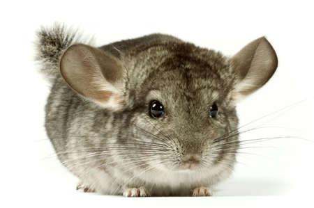 roedor: chinchilla muy bonito y divertido de roedores.
