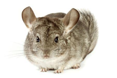 chinchilla: chinchilla very lovely and amusing rodent.