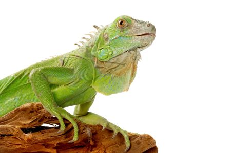 terrarium: iguana there is a beautiful ornament of a domestic terrarium Stock Photo
