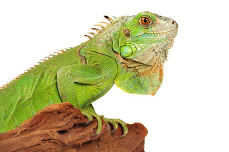 iguana there is a beautiful ornament of a domestic terrarium Stock Photo