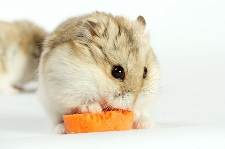Small hamster on a white background photo
