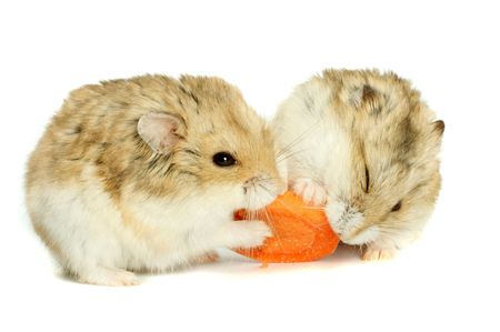 Small hamster on a white background Stock Photo
