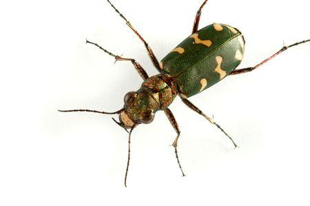 carabidae: Carabidae  the huge family numbering more of 500 kinds.