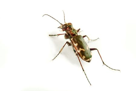cicindela: Carabidae  the huge family numbering more of 500 kinds.