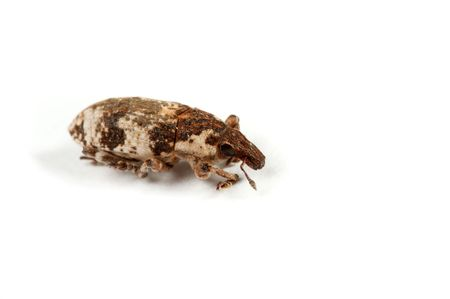 curculionidae: The small insect brings the big harm to an agriculture. Stock Photo