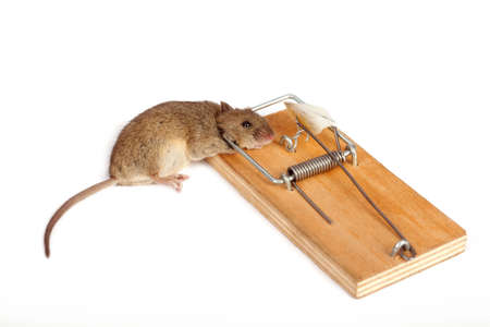 Dead mouse in a mousetrap on a white background