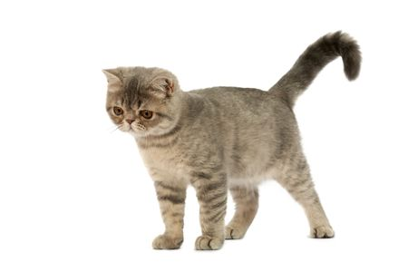 Exotic short-haired kitten. Color blue tabby spotty. Stock Photo - 6643598