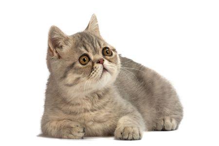 shorthaired: Gatito ex�tica de pelo corto. Tabby de color azul manchas.