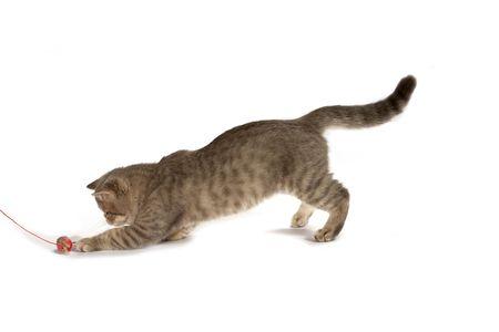 shorthaired: Exotic short-haired kitten. Color blue tabby spotty.