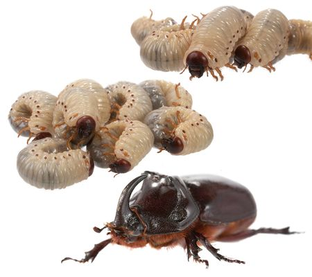 wingless: Rhinoceros beetle and larva the rhinoceros on a white background. Stock Photo