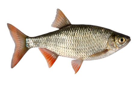 Common rudd  most widespread fresh-water fish in territory of Asia and Europe. Stock Photo