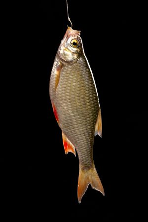 cypriniformes: Common rudd  most widespread fresh-water fish in territory of Asia and Europe. Stock Photo