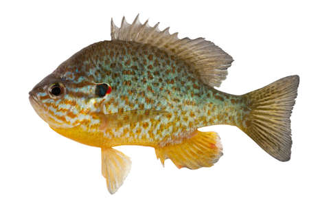 tail: Sunfish the inhabitant of reservoirs of the Central and Northern America. Now this fish is caught and in reservoirs of Ukraine. Stock Photo