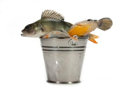 perca: Good fishing always brings a lot of fish