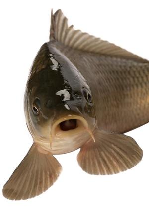 Carp has tasty dietary meat. Fishing  carp great pleasure. photo