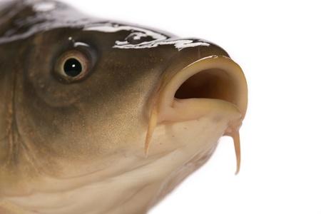 Carp has tasty dietary meat. Fishing  carp great pleasure. Stock Photo - 8335026