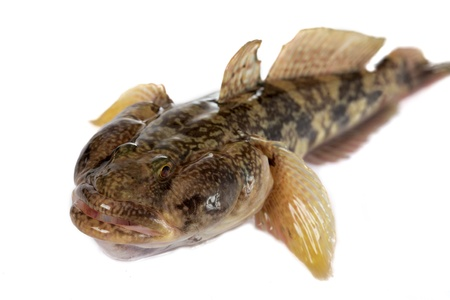 lungfish: One of the largest Gobiidae reservoirs - Gobiidae-a whip lives in Black sea and his{its} numerous estuaries, occupies sea of Azov.
