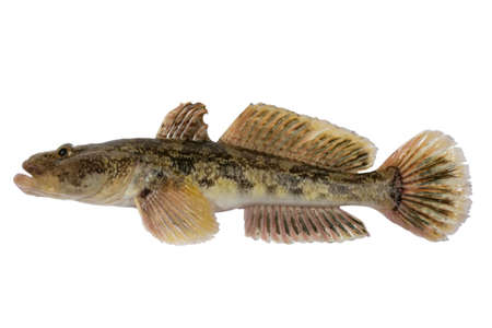 numerous: One of the largest Gobiidae reservoirs - Gobiidae-a whip lives in Black sea and his{its} numerous estuaries, occupies sea of Azov.