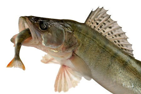 Large pike perch isolated on a white background. Stock Photo - 8335033
