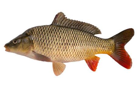 Carp has tasty dietary meat. Fishing  carp great pleasure. Stock Photo
