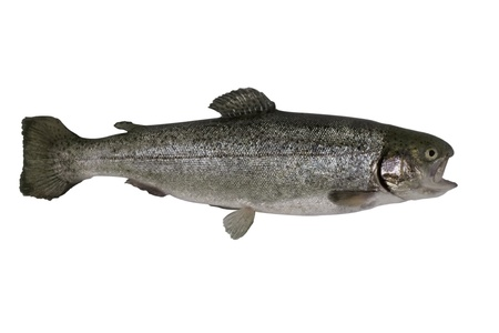 salmo trutta: Brown trout isolated on a white background.