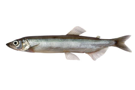 Trade sample large capelin on a white background.