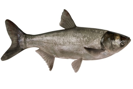 actinopterygii: Fish silver carp,hypophthalmichthys molitrix, close-up isolated on white background  Stock Photo