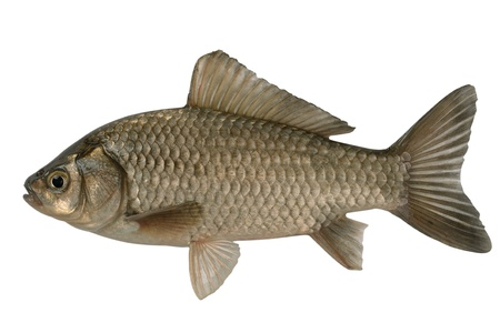 aureate: Silvery crucian isolated on a white background. Stock Photo