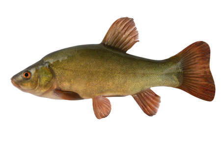 cold blooded: Tench. A fish close up. Isolated on a white background.