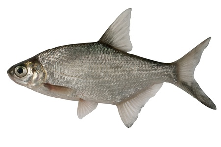 abramis: Small bream isolated on a white background.
