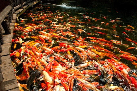 The colourful carp in the pond symbol of prosperity and wealth photo