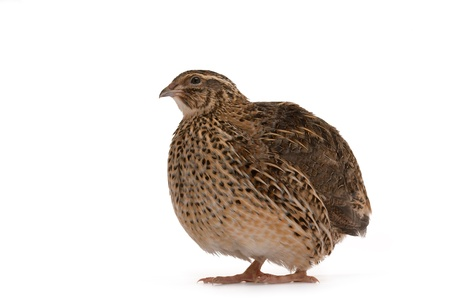 japanese quail: Japanese quail on a white background. A bird that lays the Golden eggs. Stock Photo